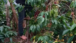 the process of harvesting coffee Part 2  - Video