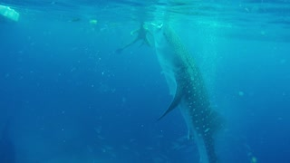 The World's Largest fish - Whale Shark - Philippines top tourist attraction  - Video
