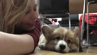Corgi puppy unimpressed with owner's affection - Video