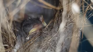 Beautiful baby hummingbirds expecting their mother with food.  - Video