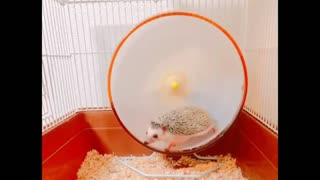 Hedgehog practicing Sports After A Meal  - Video