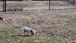 12 year old Blind Yorkie finding his way around.