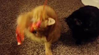 Kitties get excited to play before bed - Video