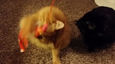 Kitties get excited to play before bed
