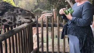 Slo-mo giraffe tongue in action!!! - Video
