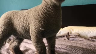 Pet Sheep Occupies Hotel Room