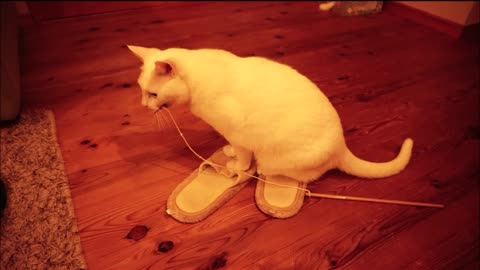 Cat knows the charm of slippers