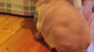 Cat Won't Show Face After Owner's Mortifying Haircut - Video