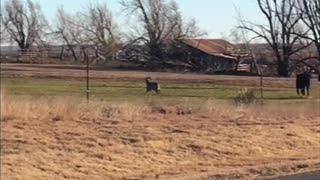 This Deer Thinks It's a Cow - Video