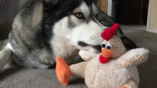 Husky kiss chicken