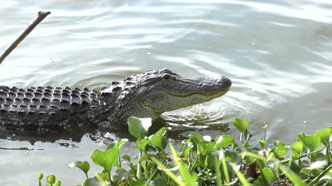 alligator fishing in a lake
