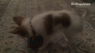 Long hair brown white dog chase ball to camera - Video