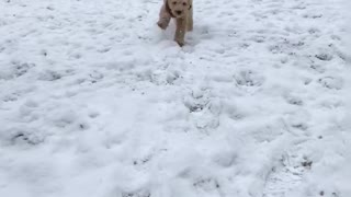 Brown puppy runs at camera on snow field  - Video