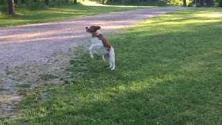 Brown white dog jumps high to catch tennis ball in his mouth