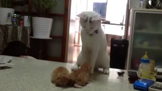 Cute little Cat fight - Video