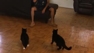 Two black cats try to play fetch