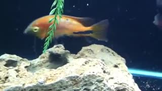 small fishes in home feeding  - Video