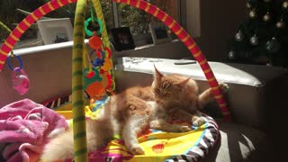 Cat thinks shes a baby and plays with toys  - Video