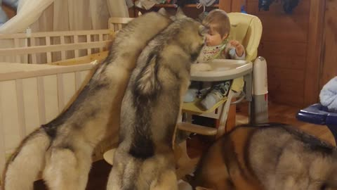 Trio of huskies help toddler finish dinner