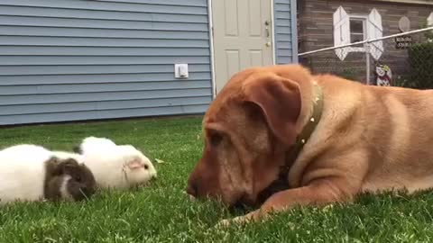 Friendly pup thinks he's a guinea pig