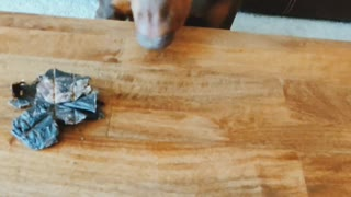 Doberman Learns to Never Trust the Shell Game
