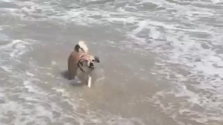 Dog riding wave  - Video