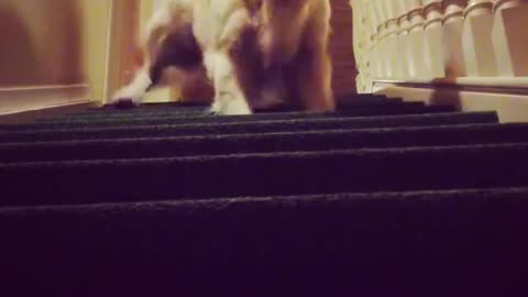 How does your dog climb the stair?