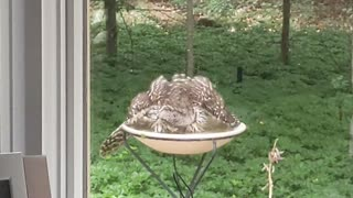Pair of Owls Enjoy Bird Friendly Backyard