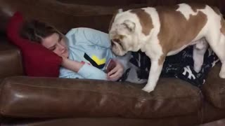 Jealous bulldog distracts owner from looking at phone