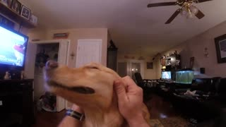 Golden Retriever Simply Loves Receiving A Proper Head Massage