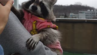 Raccoon refused to have a snowball fight with his sister.