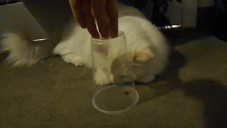 Excited kitten desperately wants to eat spider  - Video