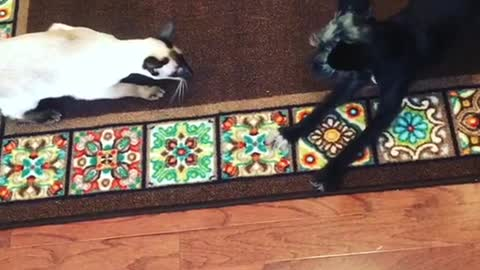 Siamese cat practices stalking skills on playful pooch