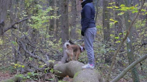 Shiba Inu dog tries desperately to hang on and not fall down from the tree