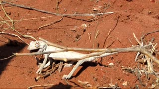small white lizard in desert  - Video