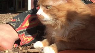 Orange cat growls at owner while sitting outside