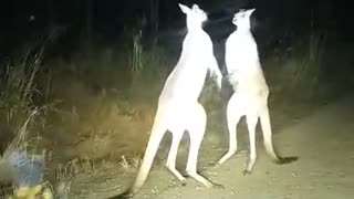 Kangaroo Fight in the Outback