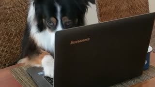 Brown white dog looks up from black laptop