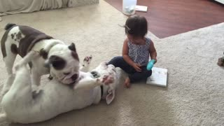 English Bulldogs wrestle to answer phone from baby girl - Video