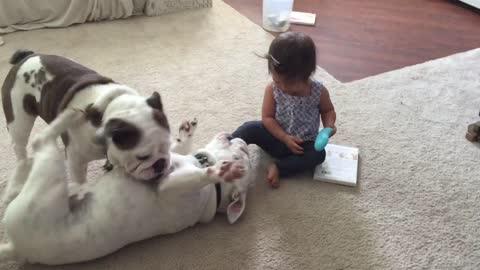 English Bulldogs wrestle to answer phone from baby girl
