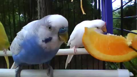 Disciplined Parakeets Take Turn On A Juicy Orange Slice