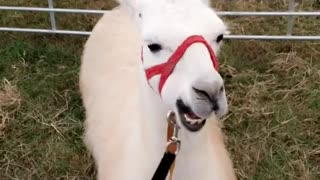 White llama with red leash chews food while laying down - Video