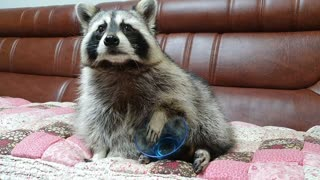 Confused raccoon flips over empty bowl after finishing his snack