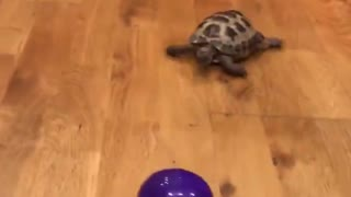 My pet tortoise thinks he's a dog - Video