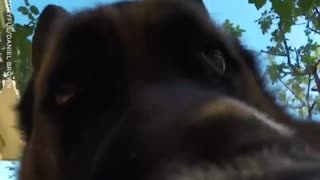 German Shepherd Steals Owner's GoPro - Video