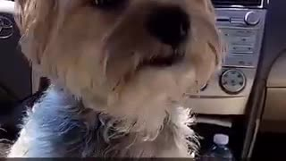 Music white dog on top of seat moving around car