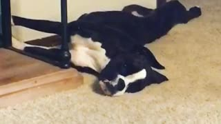 Black white dog are you dead wakes up - Video