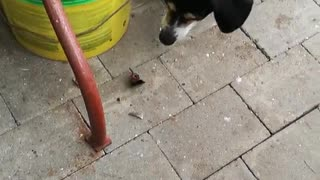 Black dog scared of butterfly on ground