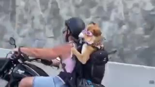 Fearless dog goes for motorcycle ride with owner