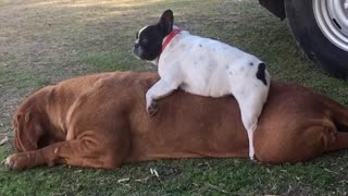 French Bulldog plays on back of huge French Mastiff